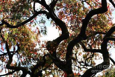 Bonsai Maple Original by Tracy Hall