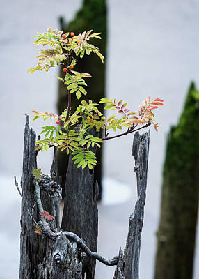 Photograph - Bonsai Mountain-ash by Robert Potts