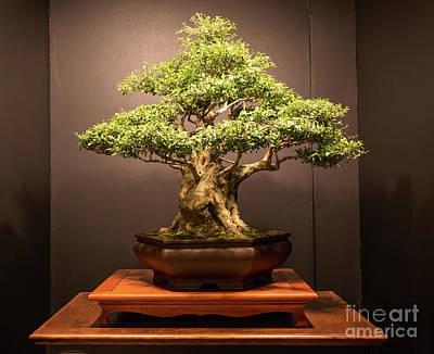 Photograph - Bonsai Tree by Kevin McCarthy