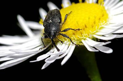 Photograph - Boo Weevil On Daisy by Bill Jordan