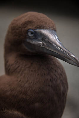 Photograph - Booby by Lindsey Weimer