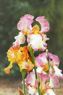 Photograph - Booming Pink  And Orange Irises by Anastasy Yarmolovich