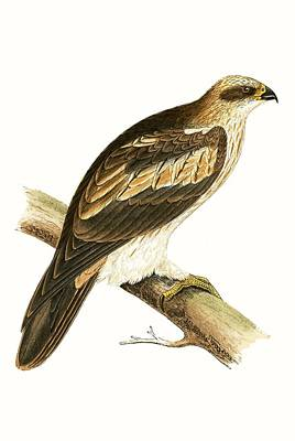 Hawk Painting - Booted Eagle by English School