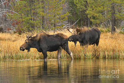 Moose In Water Photograph - Booty Sniffer by Adam Jewell