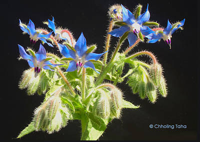 Photograph - Borage Herb Flowers by Chholing Taha