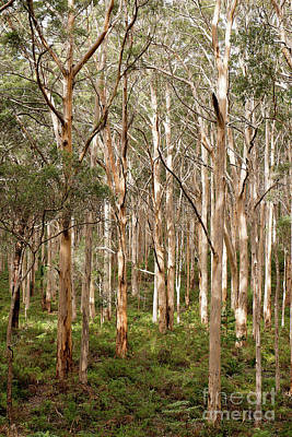 Photograph - Boranup Forest Portrait by Ivy Ho