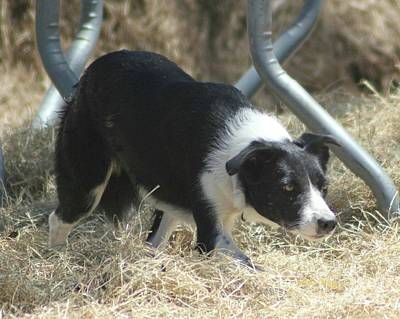 Photograph - Border Collie At Work by Dodie Ulery
