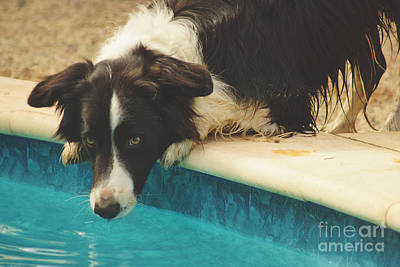 Photograph - Border Collie Drinks by Cassandra Buckley