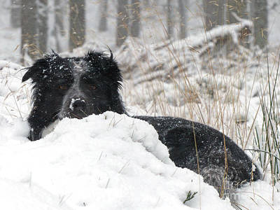 Photograph - Border Collie In Snow by Phil Banks