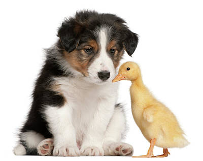 Border Collie Puppy And Domestic Duckling Print by Life On White