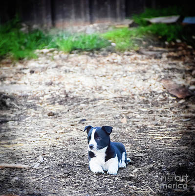 Photograph - Border Collie Puppy Readyfor Work by Peggy Franz