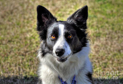 Photograph - Border Collie by Savannah Gibbs