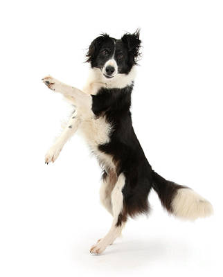 Photograph - Borderline Collie by Warren Photographic