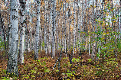 Photograph - Boreal Forest In Fall - Creamers Field by Cathy Mahnke