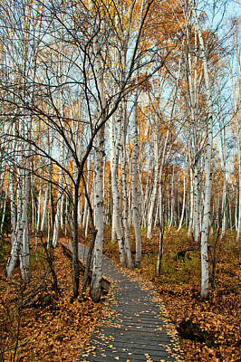 Photograph - Boreal Forest Trail In Fall 2 - Creamers Field by Cathy Mahnke