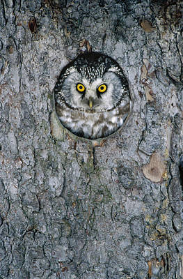 Boreal Owl Aegolius Funereus Peaking Print by Konrad Wothe
