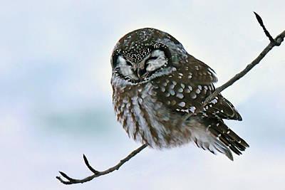 Photograph - Boreal Owl by Alan Lenk