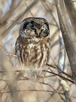 Photograph - Boreal Owl by James Peterson