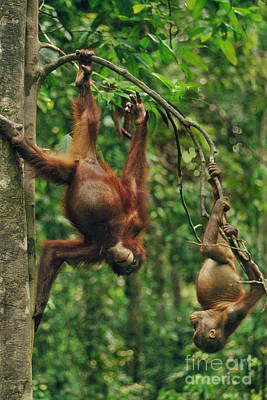 Photograph - Bornean Orangutans, Pongo Pygmaeus by Frans Lanting MINT Images