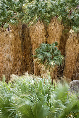 Photograph - Borrego Palm Canyon - First Grove by Alexander Kunz
