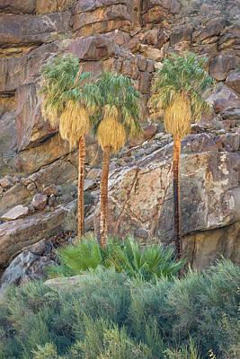 Photograph - Borrego Palm Canyon - Three Palms by Alexander Kunz
