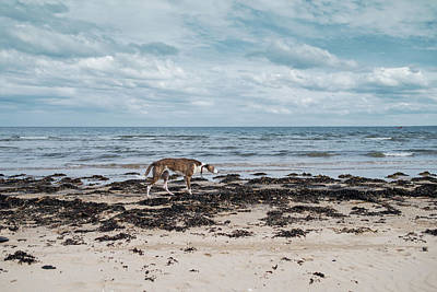 Photograph - Borzoi Dog Stalking Alnmouth Beach by Jean Gill