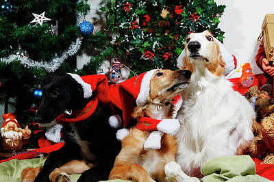 Photograph - Borzoi Hounds Dressed As Father Christmas by Christian Lagereek