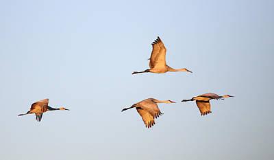 Photograph - Bosque Del Apache Cranes by Jean Clark
