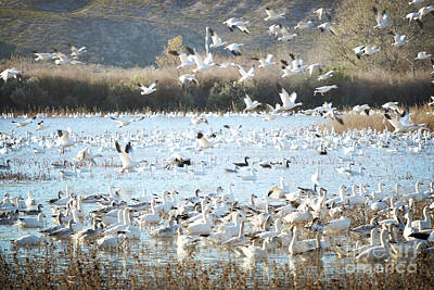 Bosque Del Apache Snow Geese Lake Art Print by Andrea Hazel Ihlefeld