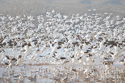 Photograph - Bosque Del Apache Snow Geese Lake Landscape by Andrea Hazel Ihlefeld
