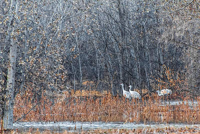 Photograph - Bosque Sandhill Cranes  by Britt Runyon
