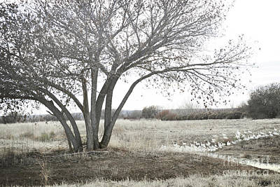 Art Print featuring the photograph Bosque Tree Snow Geese by Andrea Hazel Ihlefeld