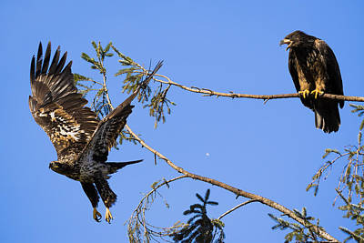 Photograph - Bossy Eagle by Windy Corduroy
