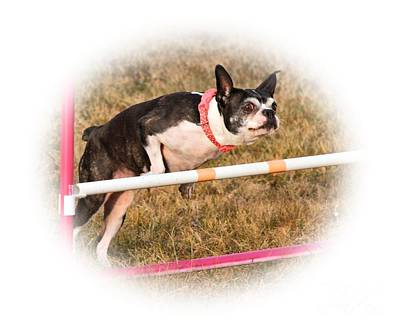 Photograph - Boston Agility by Debbie Stahre
