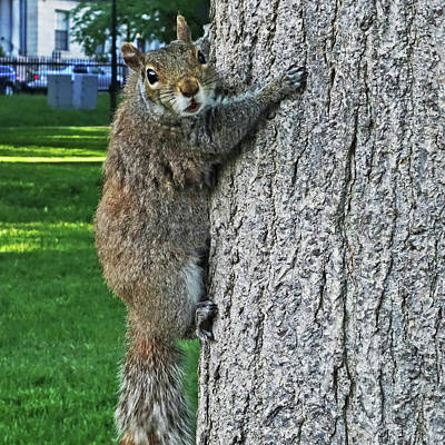 Photograph - Boston Common Squirrel Hanging From A Tree Boston Ma by Toby McGuire