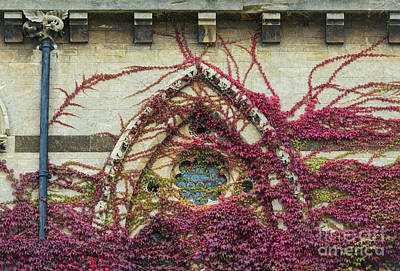 Tendrils Photograph - Boston Ivy At Christ Church College by Tim Gainey