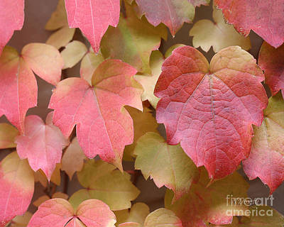 Photograph - Boston Ivy Turning by Natalie Dowty