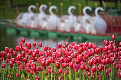 Boston Public Garden Spring Tulips And Swan Boats Art Print