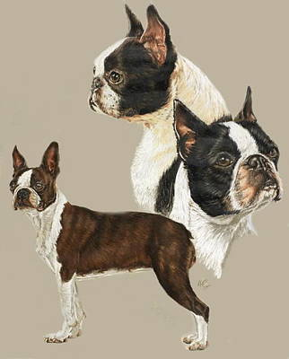 Drawing - Boston Terrier Triple by Barbara Keith