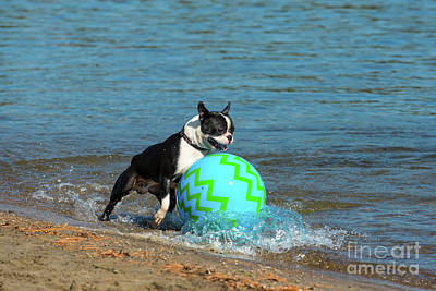 Photograph - Boston Terrier Chasing A Ball by Les Palenik