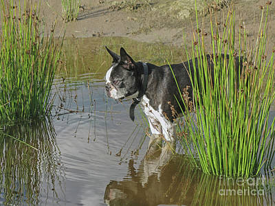 Photograph - Boston Terrier In Pond by Patricia Hofmeester