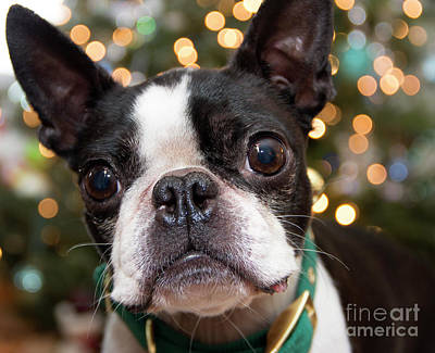 Photograph - Boston Terrier by Jeannette Hunt