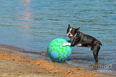 Photograph - Boston Terrier On A Beach Ball by Les Palenik
