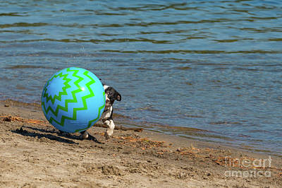 Photograph - Boston Terrier Peekaboo by Les Palenik