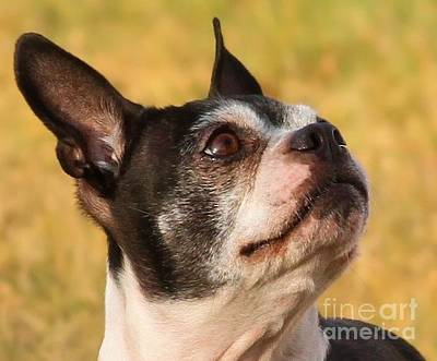 Photograph - Boston Terrier Portrait by Debbie Stahre