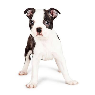 Boston Terrier Puppy Looking At The Camera Art Print by Susan Schmitz