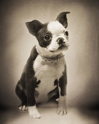 Photograph - Boston Terrier Puppy by TnBackroadsPhotos