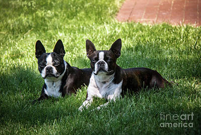 Photograph - Boston Terriers  by Robert Bales