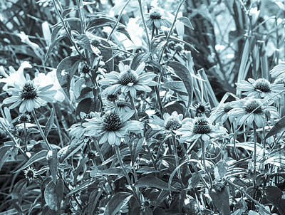 Photograph - Botanical Cyanotype Echinacea Flowers by Marianne Campolongo
