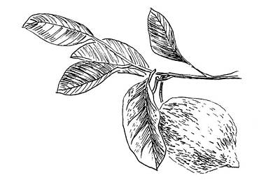 Drawing - Botanical Lemon by Masha Batkova
